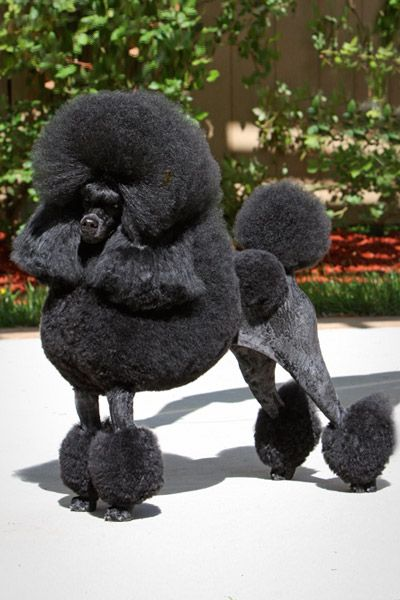 Poodle, Miniature  - Created in response to popular demand, the mid-size Poodle, or Miniature, is probably the best known and most popular of the three sizes. The Miniature Poodle belongs to a family of dogs renowned for their prowess as water retrievers.