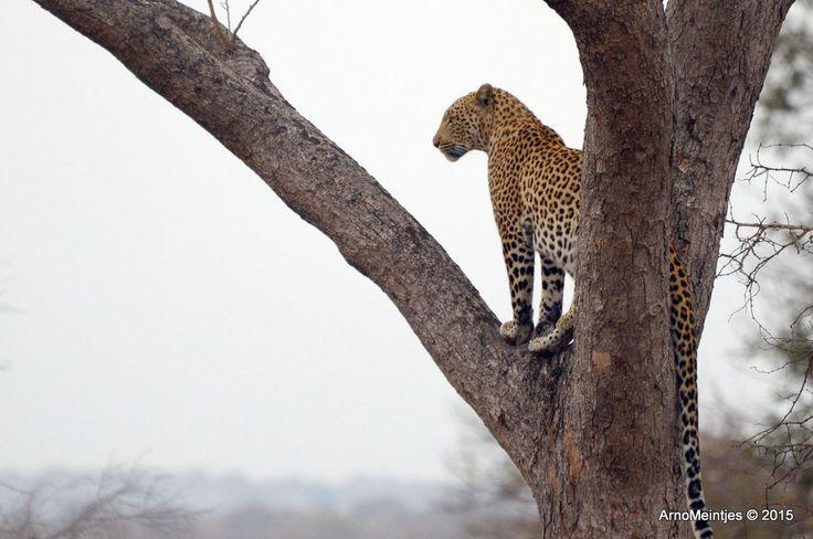 https://flic.kr/p/uL7Q36 | DSC_3332 | Leopard in tree