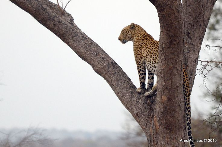 https://flic.kr/p/uL7Q36 | DSC_3332 | Leopard in tree