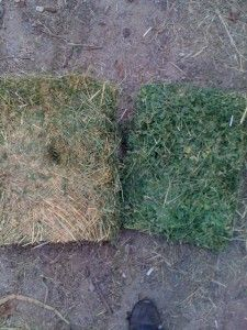 Horse Nutrition: Pros And Cons Of Alfalfa As A Horse Feed