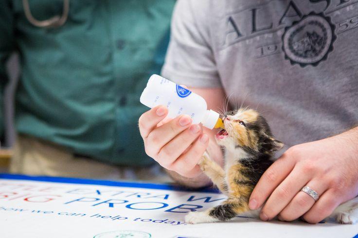 Bottle feeding orphaned kitten. Sitka Animal Hospital
