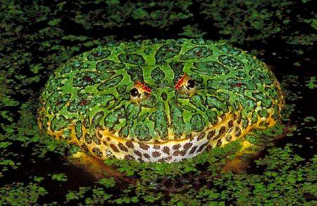 Sapo de chifre. Esse sapo pode crescer até 15 cm e habitar o Uruguai, Brasil e norte da Argentina. Mesmo dando a impressão de ser parado, é rápido para dar o bote em lagartos, roedores pequenos, pássaros ou outras rãs.
