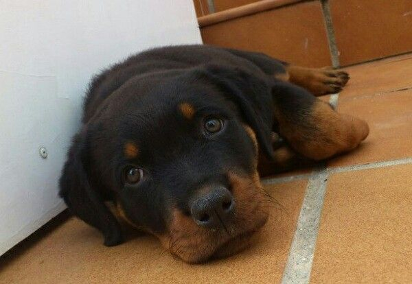 ¿Quieres conocer la raza Rottweiler? ¡Visita nuestro blog! / Do you want to know about Rottweiler breed? Visit our blog!