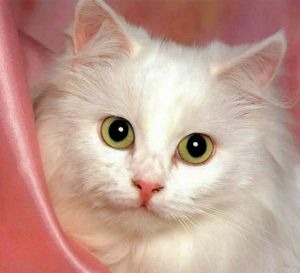 Gatos de Angora Turco. Raza de gatos de Angora Turco. MundoGatos.com