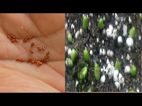 多肉植物播种更新 How to grow succulents from seeds - YouTube