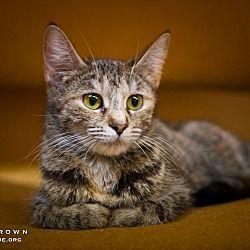Circleville, Ohio - Domestic Shorthair. Meet Blossom, a for adoption. https://www.adoptapet.com/pet/19837548-circleville-ohio-cat