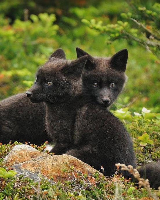 red fox kits, black color morph | animal + wildlife photography