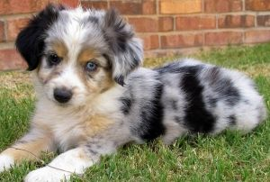 Harley & Toby Litter ~ Male Blue Merle 1 | West Texas Mini Aussies | Miniature Australian Shepherds | Lubbock, TX