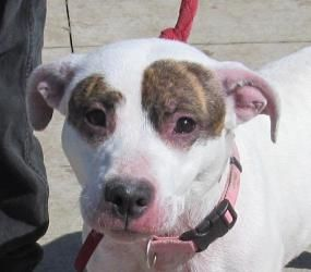 PLEASE REPIN ME!!!!!>>>>SWEET SHAUNA NEEDS A HOME !!!!>>>SEE HER VIDEO!!!!>>>>URGENT!!!!>>>STARK COUNTY DOG WARDEN DEPT Canton, Oh.>>>>G-4 Shauna is an adoptable Pit Bull Terrier Dog in Canton, OH. ���� Picked up as a stray on 3/29.� Available on 4/2. �What a sweet dog.� Shauna is suffering from some skin irritations, which you can s...