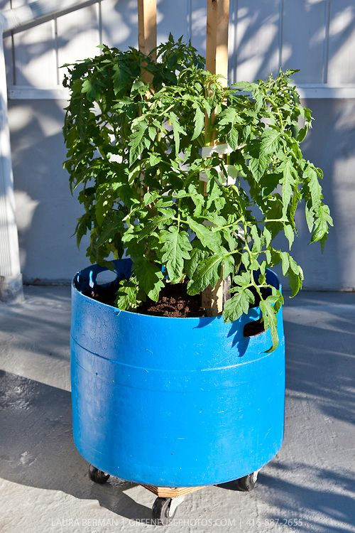 A  container garden with tomato plants in movable blue plastic barrels.