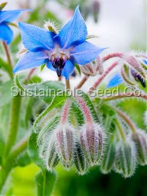 Borage has some tasty flowers --- but more than that, it's one of the best companion plants there is.  Both Borage and Yarrow increase the vitality and production of all the plants around them.  Especially plant Borage in your strawberry beds -- the berries will thank you.  Watch out, though -- Borage self seeds.  So make sure you want your borage to be in that spot for a good long time!