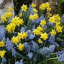 Image result for tete a tete bulbs