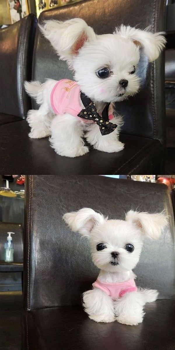 Best Small Dogs And Puppies Images On Pinterest Dog - Dog obsessed with stuffed santa toy gets to meet her idol in real life