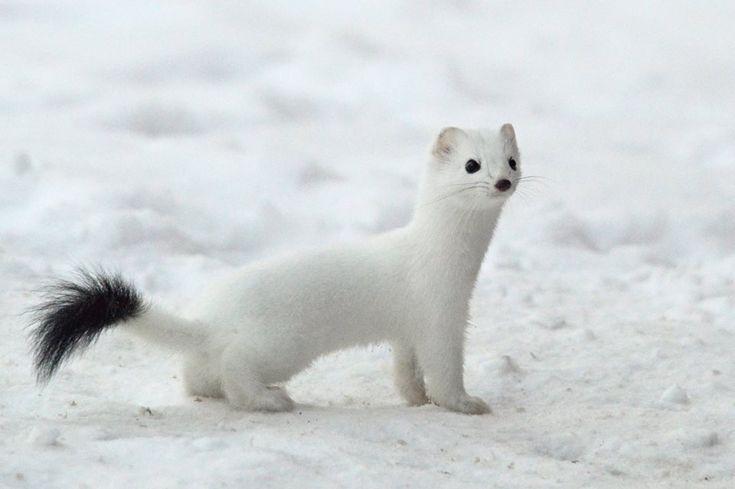 ❤ Arctic Weasel ❤