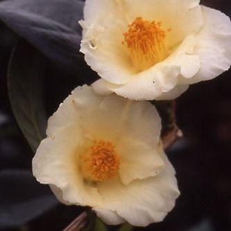 "Camellias - japonica and hybrids - ""Exotic"" Gardens : Camellia Kicho - Stervinou Nursery, ericaceous plants"
