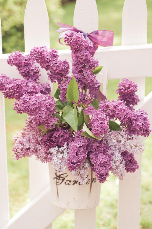 Die 106 Besten Bilder Zu Loving Lilacs Auf Pinterest | Glyzinie ... Flieder Farben Arten Fakten Pflege