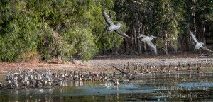 Lotus Bird Lodge, Far North Queensland, Wildlife Photography, Water birds, Cape York, yourtrails.com.au