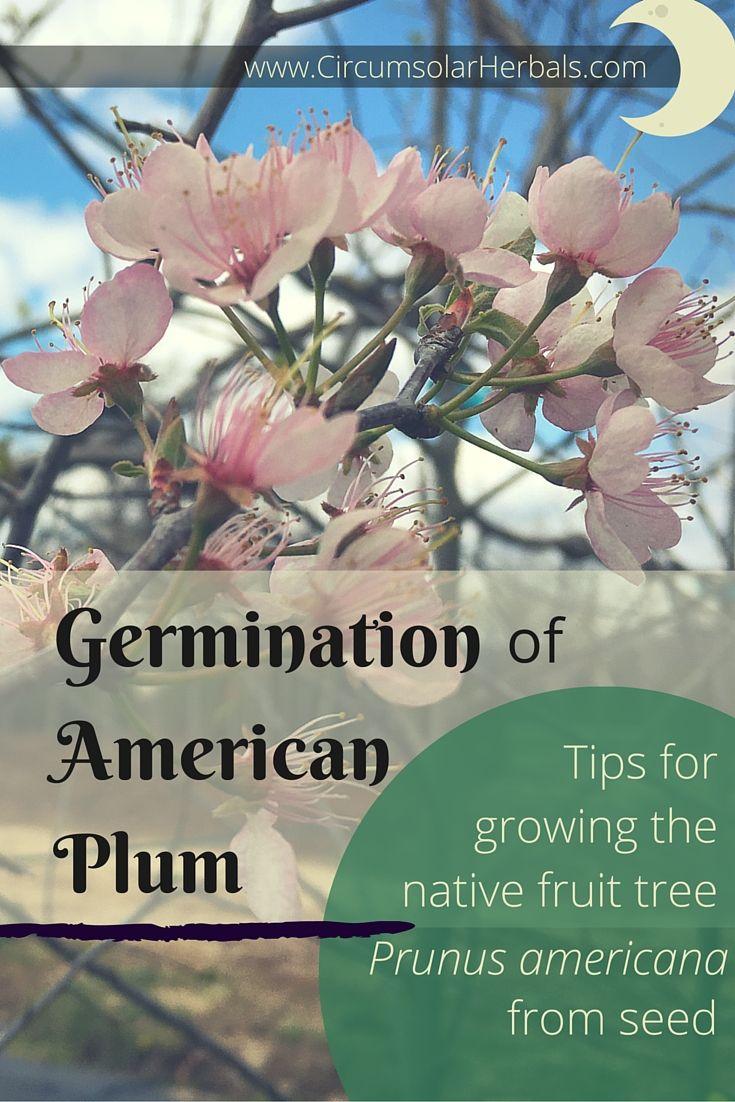 how to grow italian plum tree from seed