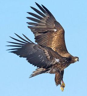 Wedge-tailed_Eagle-Australia