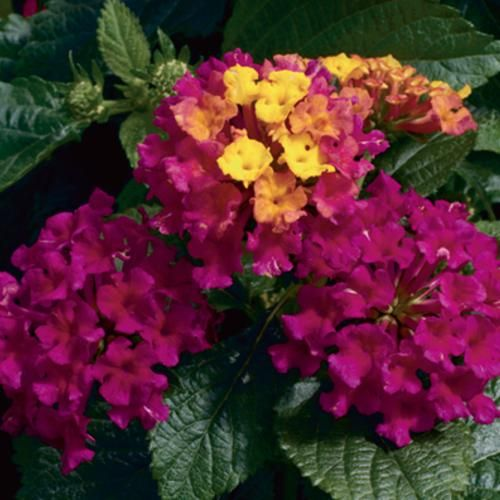 Lantana 'Bandana Cherry' - Very easy to grow with few requirements. Heat and drought tolerant. Great for sunny baskets and containers.