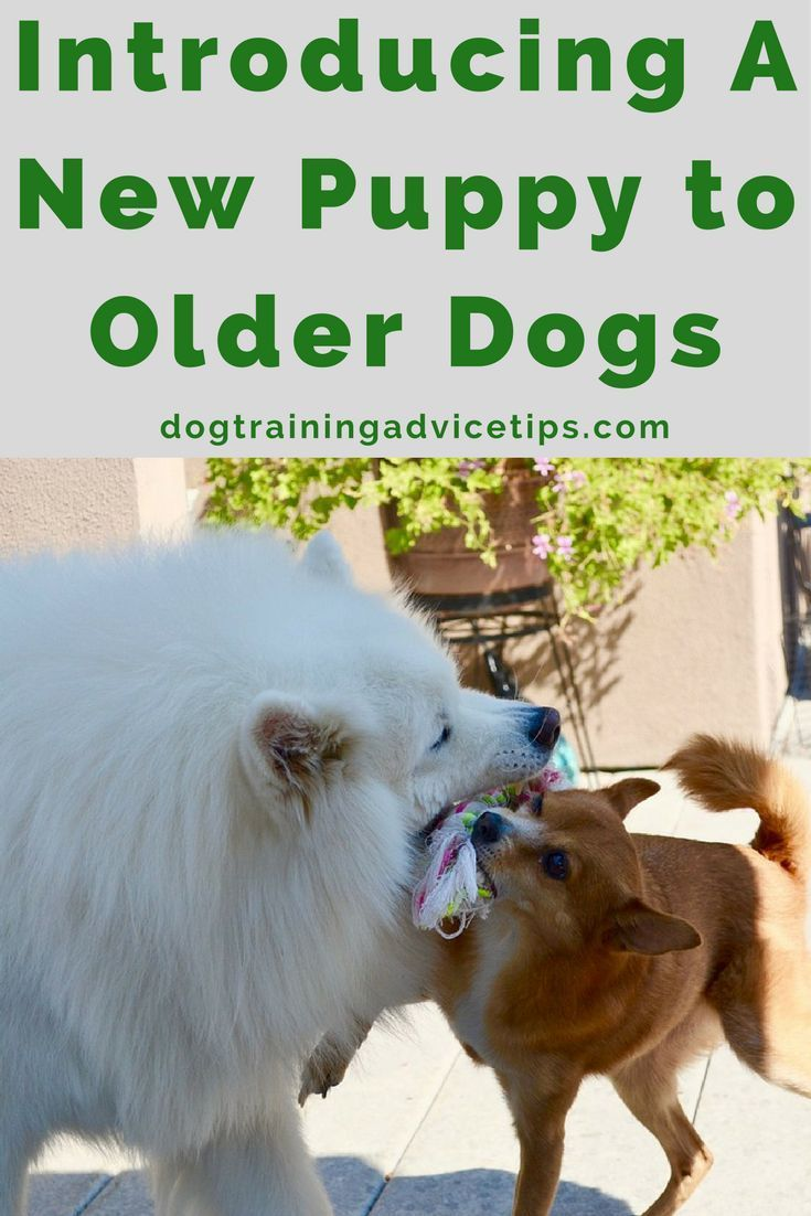 Introducing A New Puppy To Older Dogs Dog Training Tips Dog