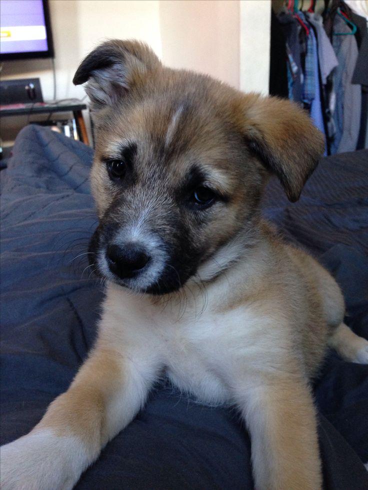 My puppy Ajax (husky pitbull mix)