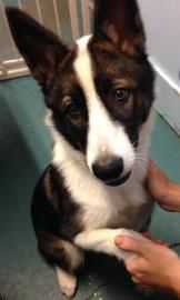 Border Collie Husky mix up for adoption in Eugene, Oregon.  Luna, you are so beautiful and nice!!!