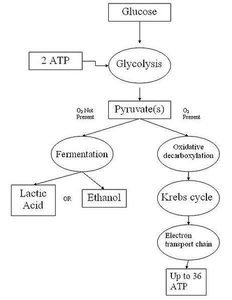 cellular respiration flow chart steps