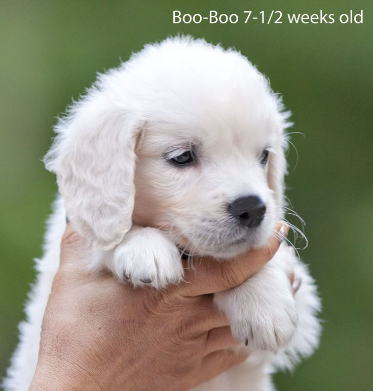 White lab puppies for sale in maine