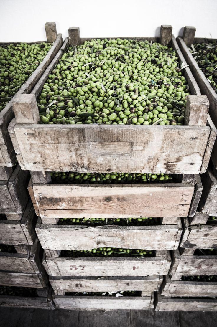 Olives harvest. #Laudemio #Tuscany #EVOO #oliveoil
