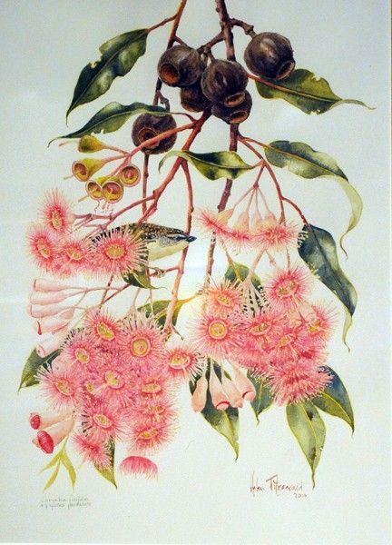 Helen Fitzgerald - Ficifolia, Watrcolour