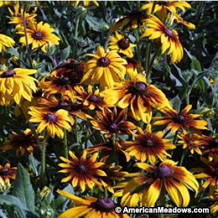 Gloriosa Daisy Seeds Perennial form of our native Black-Eyed Susan with giant flowers in bicolors, doubles. Great color. Perennial.