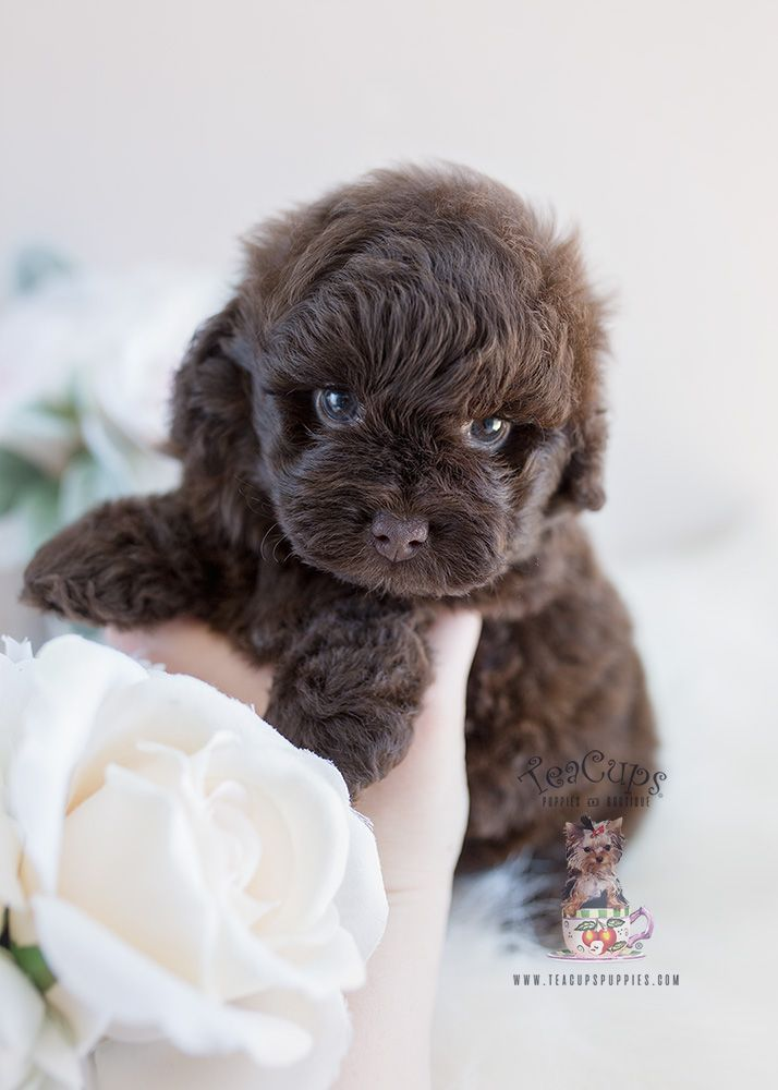 Chocolate Shih Poo Puppy Bu Teacup Puppies And Boutique Shihpoo Shihtzu Poodle Puppy Puppies Doglovers Designerbree Poodle Mix Puppies Shih Poo Puppies