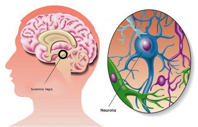 La sustancia negra recibe este nombre debido a que algunas neuronas de este núcleo se encargan de producir un pigmento que se llama melanina y que le confiere una coloración oscura.