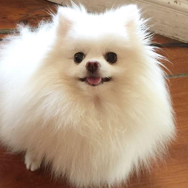 White #Pomeranian by jewel0131 on Instagram