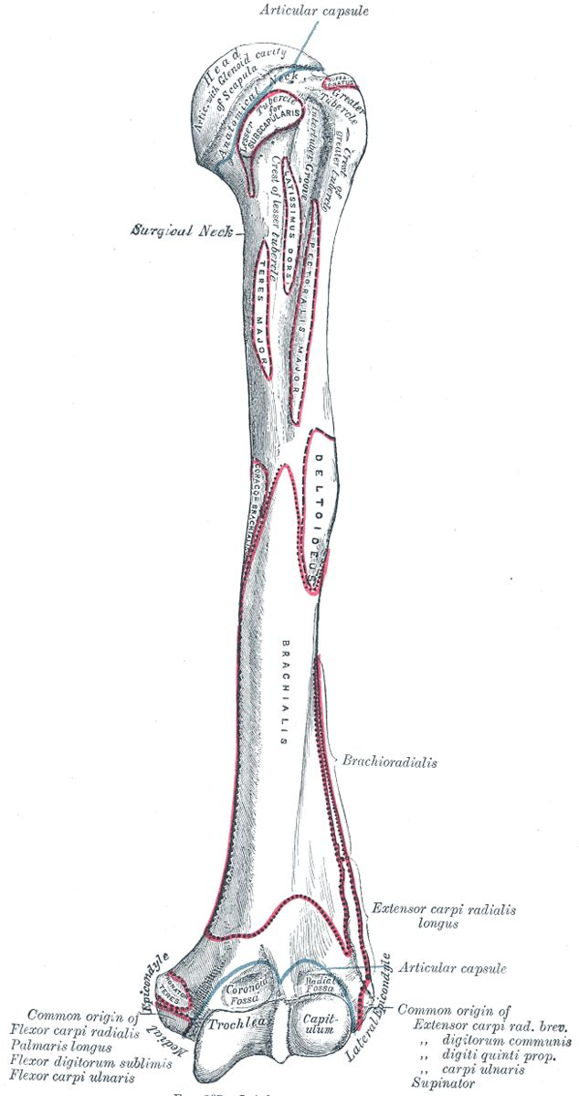 Humeral attachments (anterior) of the Brachialis and Brachioradialis muscles