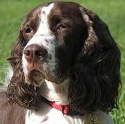 English Springer Rescue America needs volunteers and foster parents.