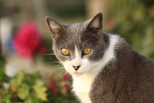 Kocie samece to brutale, czyli dlaczego kocur trzyma kotkę za kark podczas kopulacji