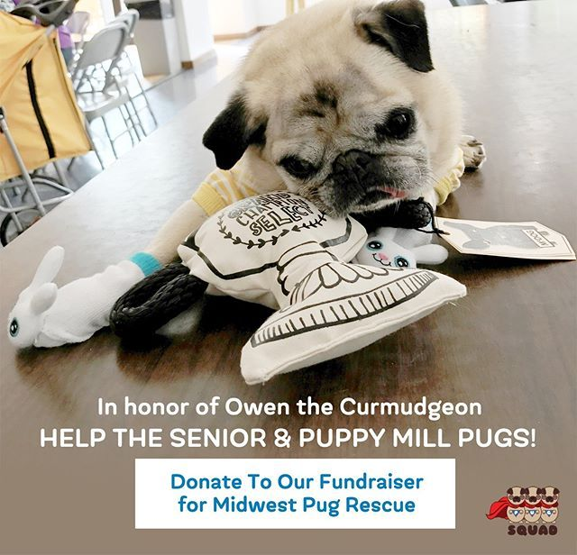 Please click the link in our bio and donate to our fundraiser for Midwest Pug Rescue recent puppy mill survivors in honor of Owen. Any amount is welcome. https://pugsquad.org/owen-tribute/