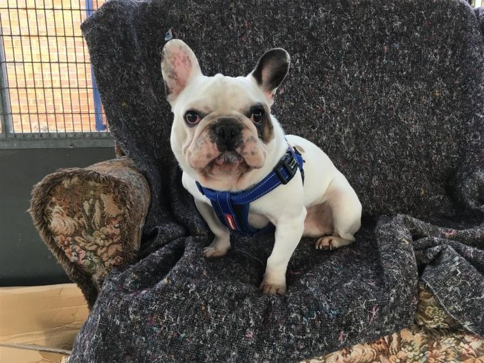 Sidney Blue Cross Pets Bulldog French Bulldog