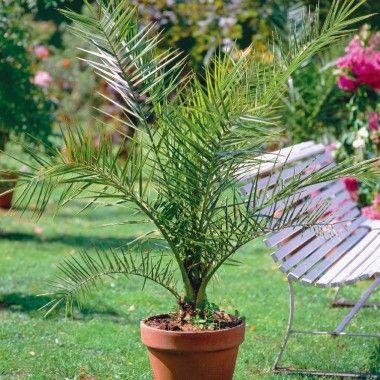 Les 25 meilleures id es concernant palmier phoenix sur for Entretien palmier exterieur