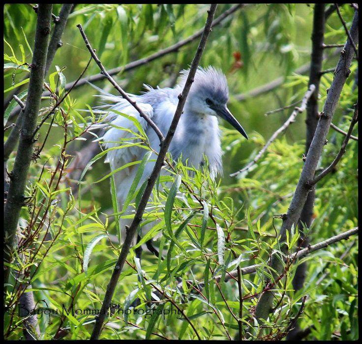 Baby blue heron bird - photo#20