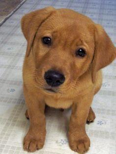 Meet Bryce, the cutest Fox red Labrador Retriever.