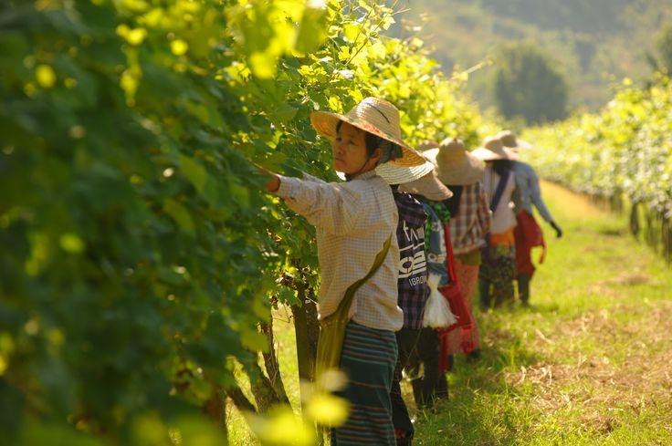 Winemakers in the hills (Myanmar)