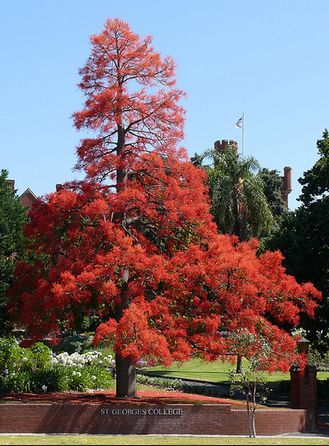 Illawarra Flame Tree, St Georges College, Perth