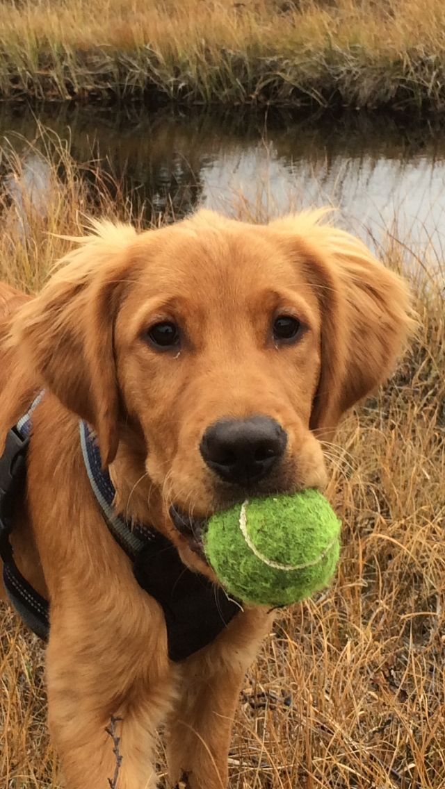 Oscar, Dark Golden Retriever