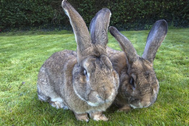 Why? Because his dad, Darius (here on the right) literally IS the world's biggest rabbit, according to the Guinness Book of World Records, measuring 4 feet and weighing 3 stone, 7 lbs.