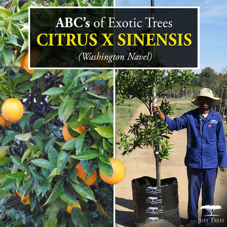 This week's ABC's of Exotic Trees focuses on the Citrus x sinensis or Washington Navel. Known as the oldest and most popular tree grown in Australia, the Citrus x sinensis prefers sub-tropical temperatures and can reach up to 2-5m in height. It grows beautifully in full sunlight and is sure to brighten up any landscape! We currently stock 100L of this tree.