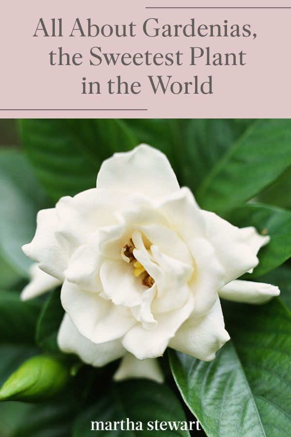 All About Gardenias The Sweetest Plant In The World In 2020 Fragrant Flowers Flower Meanings Planting Flowers