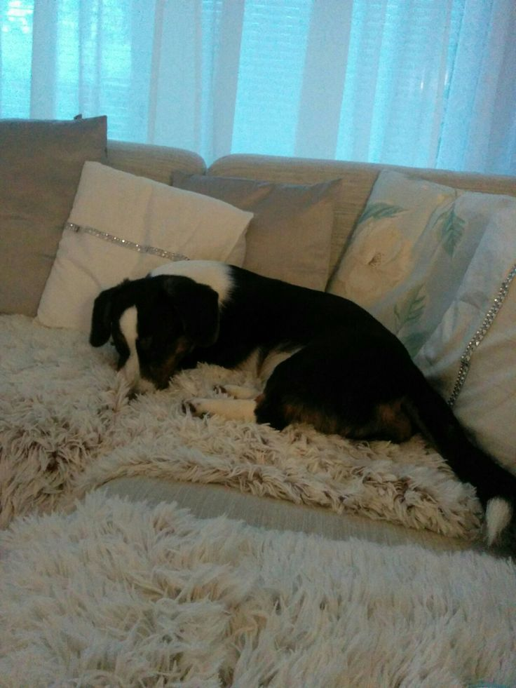 Corgi cardigan tricolor Manu jumped in to the sofa, he know's wery well hes not aloud  come  to the sofa..